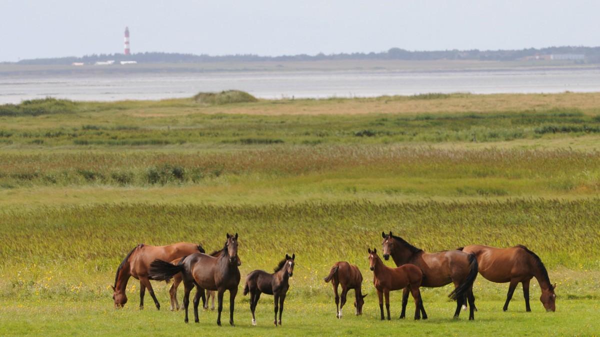Eine Herde Pferde auf Föhr